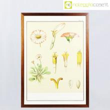 Paravia tavola botanica n.4