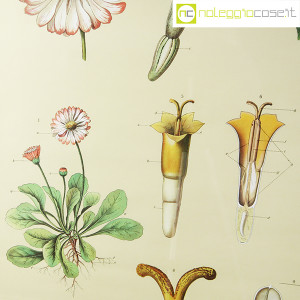 Paravia, tavola botanica n (5)