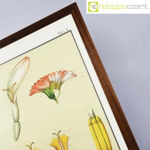 Paravia, tavola botanica n (6)